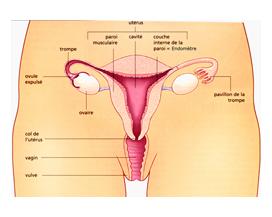 herpes-genital-femme